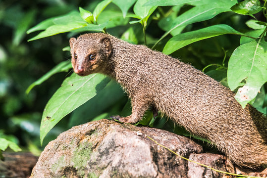 Indian Grey Mongooses