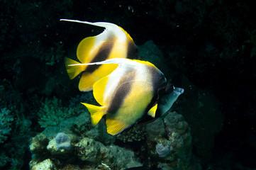 Wimpelfalterfische