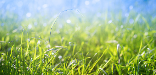 Fresh green grass on the lawn illuminated by sunlight on blue sky background. Natural background. Landscape, nature, summer.