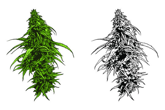 Cannabis vector illustration. Marijuana leafs.