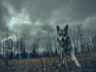 Wolf dog animal in nature forest straight look to camera Wall mural