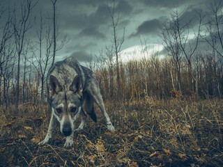 Wolf dog animal in nature forest with cloudy sky sniffing on ground Wall mural