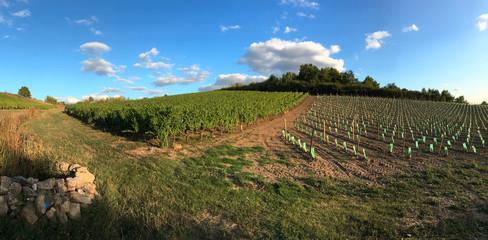 Vigne en France sur les coteaux du Layon