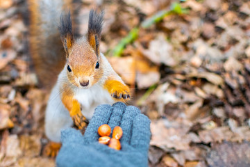 Papiers peints Squirrel Portrait of a red squirrel eating nuts from a hand in a gray glove in the winter forest. Wild animals looking at the camera. Close-up nature background with copy space.