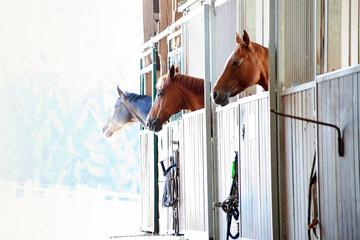 Fototapeta Pferde schauen im Stall aus der Box