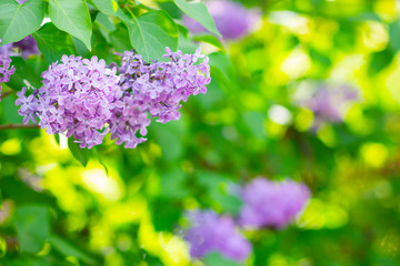 Foto auf Leinwand Flieder Spring branch of blossoming lilac. Lilac flowers bunch over blurred background. Purple lilac flower with blurred green leaves. Copy space