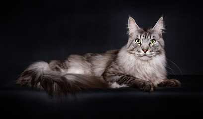 Acrylic Prints Cat Handsome lazy Black Silver Mackerel Tabby Maine Coon cat laying side ways looking straight at camera with tail by his side, isolated on a black background
