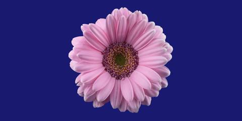 Türaufkleber Gerbera pink gerbera flower, isolated on phantom blue background, panorama, macro