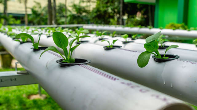 hydroponic vegetables system. seed of mustard greens on pvc pipe full of nutrient