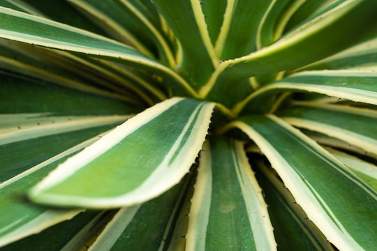Close-up of Agave Americana variegated desert cactus
