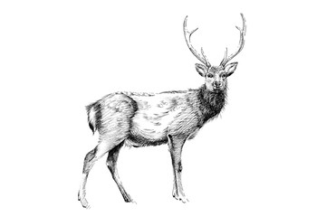 Hand drawn deer, sketch graphics monochrome illustration
