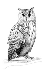 Hand drawn owl, sketch graphics monochrome illustration