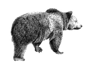 Hand drawn bear, sketch graphics monochrome illustration