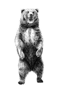 Hand drawn bear, sketch graphics monochrome illustration
