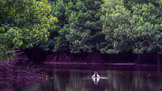 A pair of white heron mating in the estuary at Kutai National Park, Indonesia