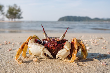 Crab on the tropical beach close up