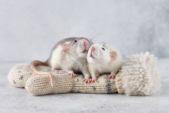 Lovely rat couple at winter mittens