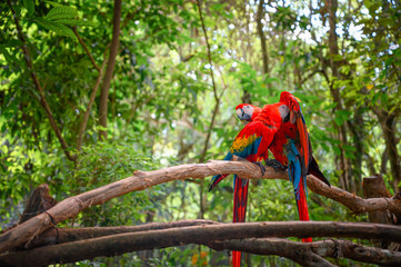 Couple of scarlet macaw standing on a branch in the middle of the jungle.