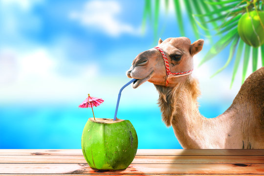 Camel in a tropical beach island drinking coconut juice.