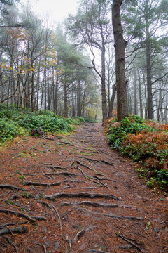 tree roots on a woodland path in Autumn or fall with mist in the background trees