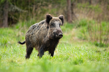 Alert male wild boar, sus scrofa, standing fierceful on a meadow in springtime. Front view of dangerous aggressive mammal in wilderness. Concept of animal danger in nature.