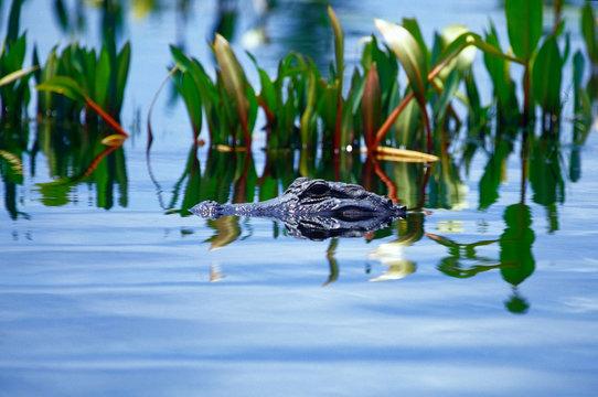 An eye level view of a partially submerged alligator in Georgia's Okefenokee Swamp.