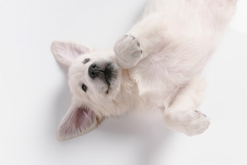 Wall Mural - Child. Top view of english cream golden retriever playing. Cute playful doggy or purebred pet looks cute isolated on white background. Concept of motion, action, movement, dogs and pets love