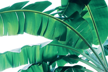 Tropical green leaves pattern on white background, lush foliage of banana palm leaves the tropic plant.