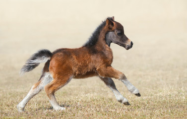 Wall Mural - American miniature horse. Bay foal in motion.