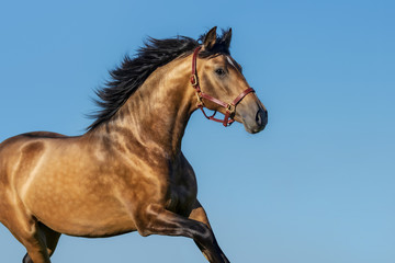 Wall Mural - Portrait of light bay Andalusian horse.