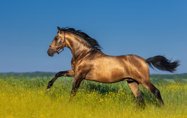 Golden bay Andalusian horse in blooming meadow.