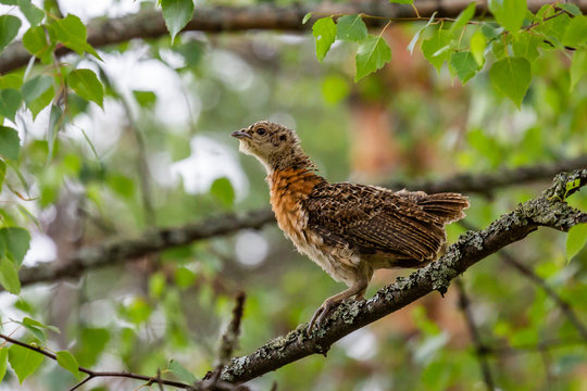 Capercaillie chick sitting on a tree branch