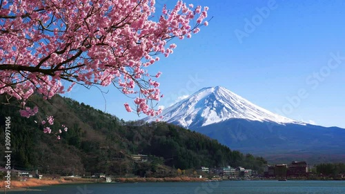Wall mural Fuji mountain and cherry blossoms in spring, Japan.