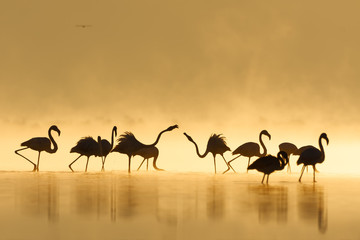 Foto auf Gartenposter Flamingo Great flamingo family during sunrise and golden hour.