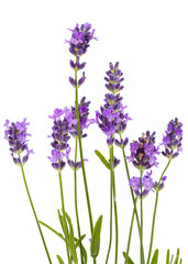 Autocollant pour porte Lavande Flowers of violet lavender, isolated on white background