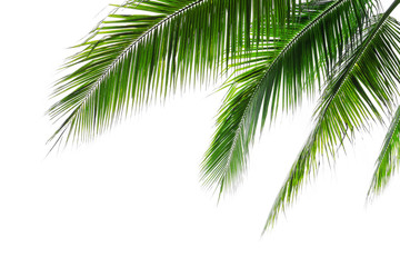 Tropical beach coconut palm tree leaves isolated on white background, green palm fronds layout for summer and tropical nature concepts.