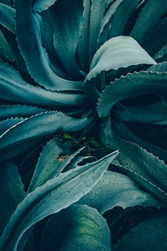 abstract agave close up