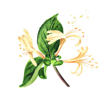 Branch of honeysuckle with flowers and leaves. Watercolor hand drawn illustration isolated on white background