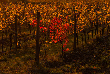 Canvas Prints Cuban Red Vineyard at sunset light