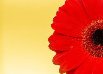 One red gerbera flower on yellow background