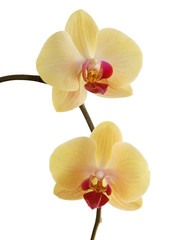 Tuinposter Orchidee pretty yellow orchid Phalaenopsis close up isolated