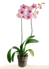 pretty pink orchid Phalaenopsis close up isolated