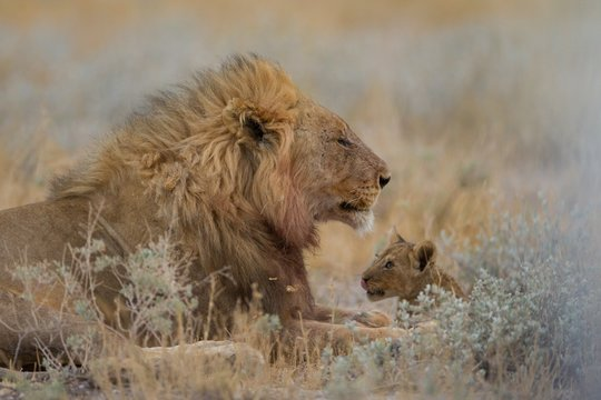 Magnificent lion and his baby resting among the plants in the middle of a field