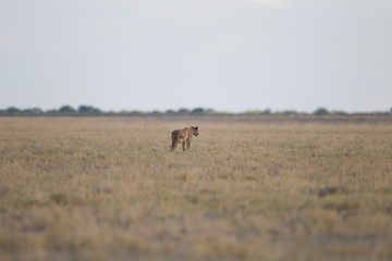 Selective focus shot of a lion walking in the distance in an empty field