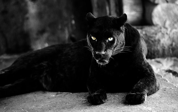 Beautiful black panther. Big cat. Animal world.