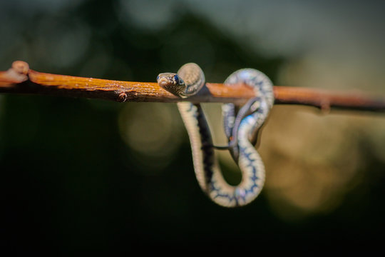 Black young small snake viper python natrix hanging on a branch on isolated background macro