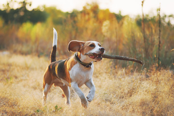 Happy beagle dog with stick in mouth running against beautiful nature background. Sunset scene colors