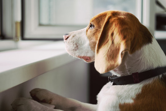 Curious Beagle dog looking out an open window. What's going on out there?