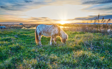 White pony with black dots in the foreground wild in a sunset.