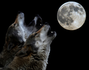 Photo sur Plexiglas Loup heulender Wolf vor Vollmond - howling wolf in front of full moon